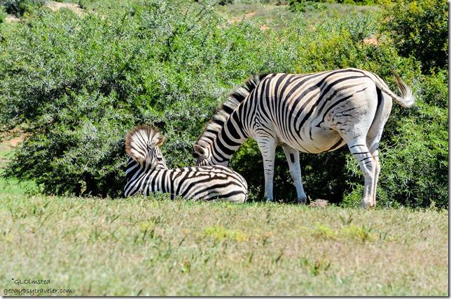 Zebras from underground birdhide Addo Elephant National Park South Africa
