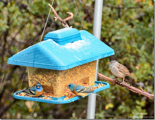 Lazuli buntings & white-crowned sparrow on feeder Yarnell Arizona