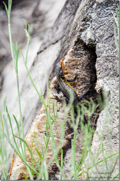 Blue-spotted Girdled Lizard N12 North of George South Africa