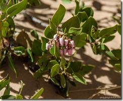 Manzanita flowers White Pocket Vermilion Cliffs National Monument Arizona