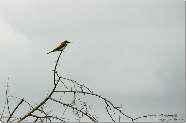 European Bee-eater Kruger National Park South Africa