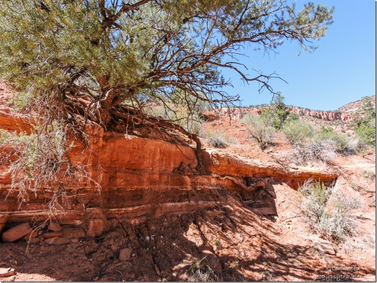 Juniper tree root in wash Bunting Trail Kanab Utah