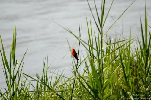 01 1313lerwss Red Bishop bird Kruger NP SA fff165-2 (640x424)