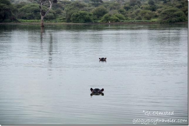 Hippos Kruger National Park South Africa