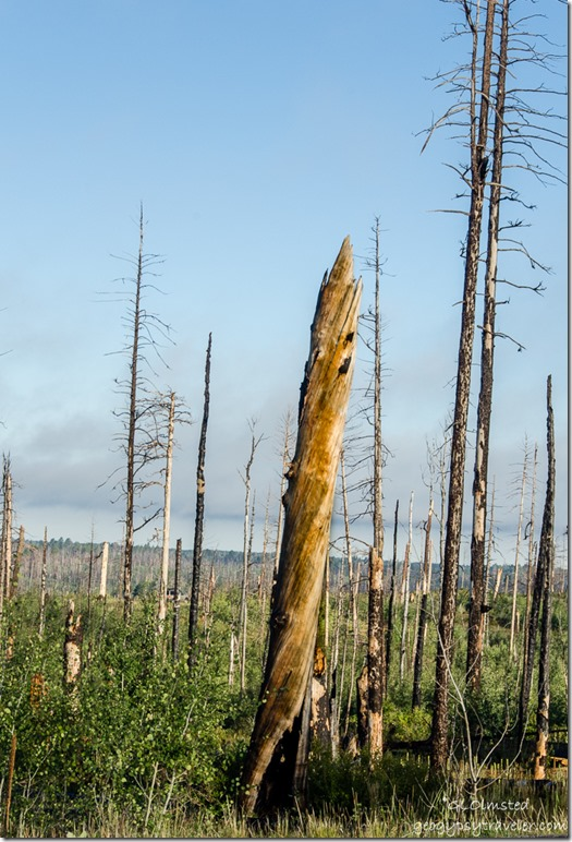 Looking West thru standing dead trees from 2006 Warm fire Kaibab National Forest Arizona