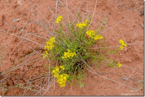 08-DSC_5620chdrlerw-Wallflower-maybe-Bunting-Trail-Kanab-UT-g-HDR-2_thumb.jpg