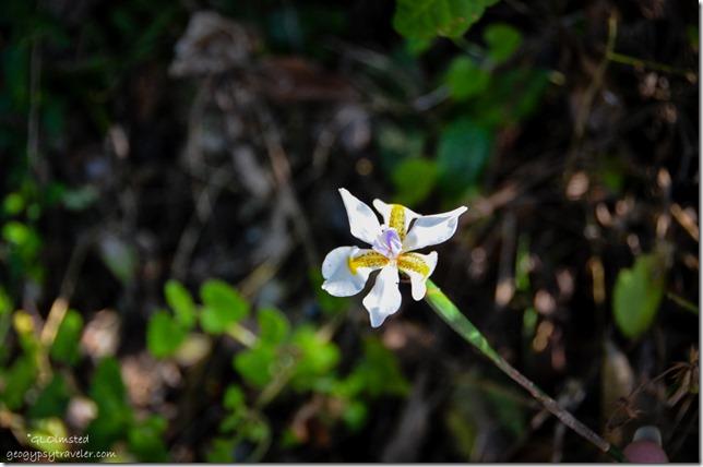 Unidentified white flower Suspension Bridge trail Tsitsikamma National Park South Africa