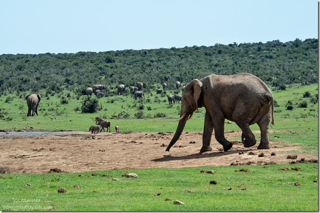 Elephants & warthogs Addo Elephant National Park South Africa