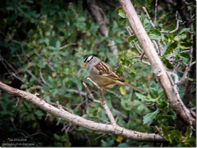 White-crowned sparrow Yarnell Arizona