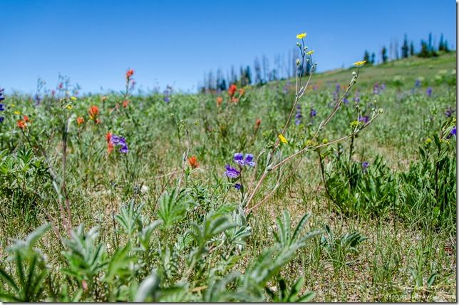 Scarlet Paintbrush, Markagunt Penstemon & Pretty Cinquefoil Cedar Breaks National Monument Utah
