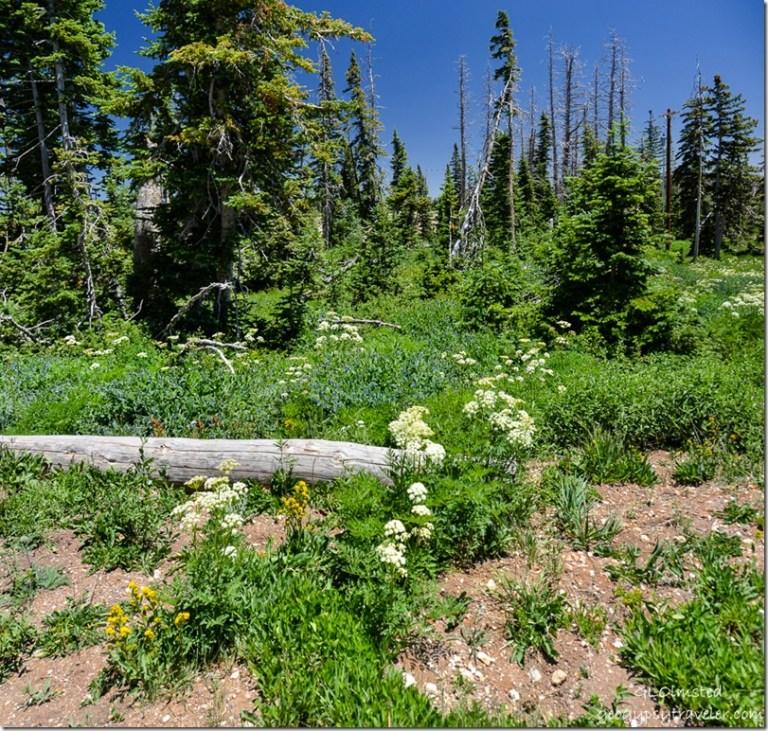 Sulpher Buckwheat, Aspen Bluebell & Southern Ligusticum Cedar Breaks National Monument Utah