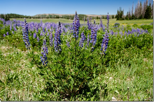 Silvery Lupine Cedar Breaks National Monument Utah