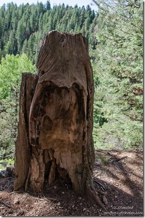 Burned stump Widforss Trail North Rim Grand Canyon National Park Arizona