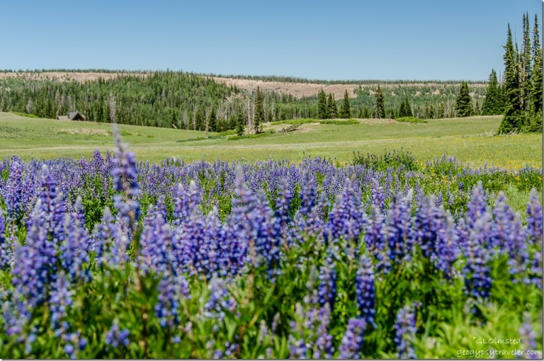 Silvery Lupine, meadow & cabin Cedar Breaks National Monument Utah