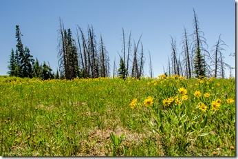 Little Sunflowers Cedar Breaks National Monument Utah