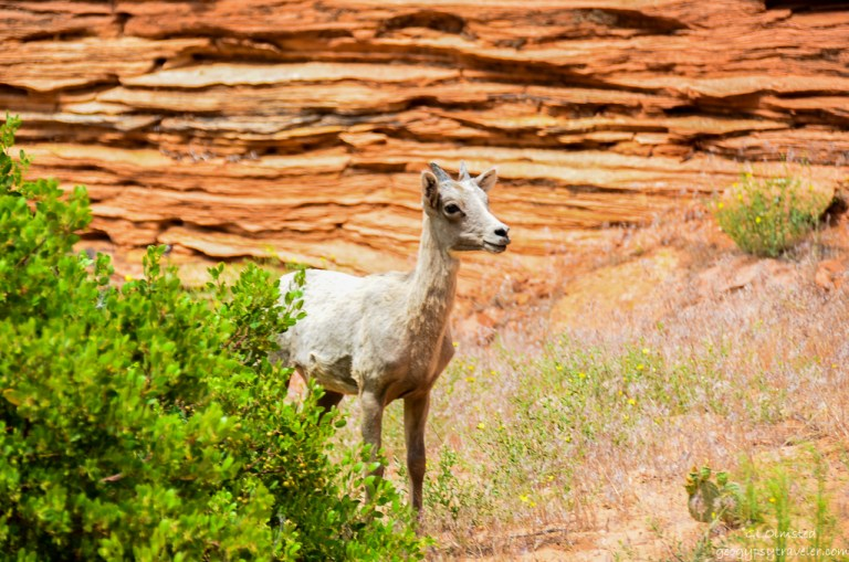 Desert Bighorn Sheep Zion National Park Utah