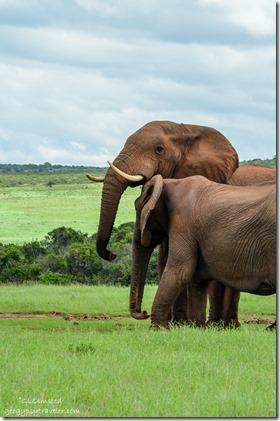 Elephants Addo Elephant National Park South Africa