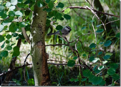 Black-Throated Gray Warbler Widforss trail North Rim Grand Canyon National Park Arizona