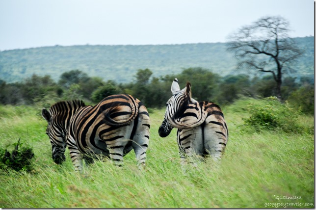 Burchells Zebras Kruger National Park South Africa