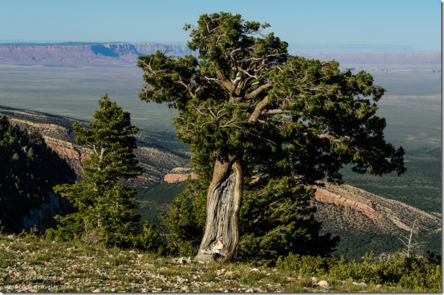 Wind blown pinyon pine from Marble View Kaibab Kaibab National Forest Arizona