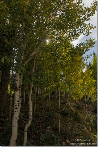 Sun through fall aspen Kaibab Kaibab National Forest Arizona