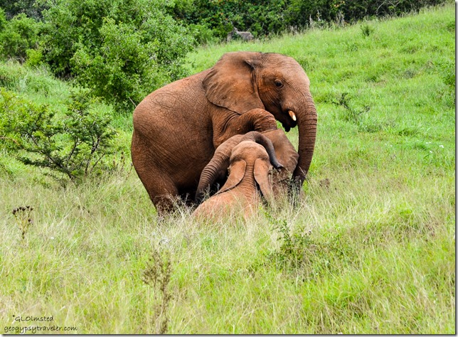 Young elephants at play Addo Elephant National Park South Africa