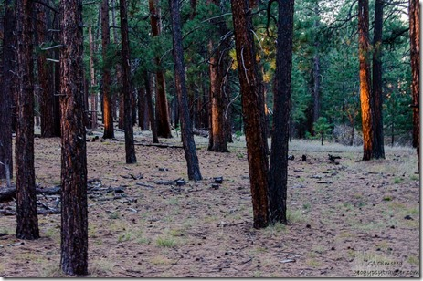 Morning light on pines from RV North Rim Grand Canyon National Park Arizona