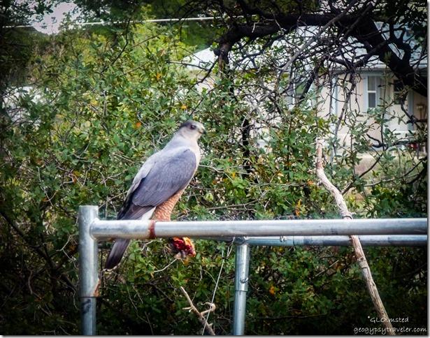 Cooper's hawk with food Yarnell Arizona
