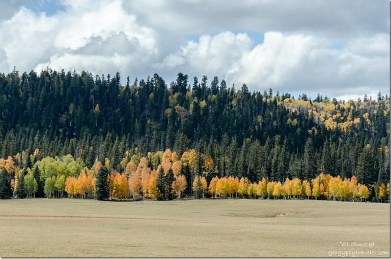Fall aspen along the meadows SR67 Kaibab National Forest Arizona