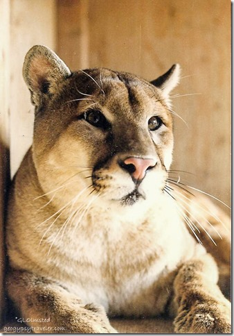 Whiskers male cougar CALM Bakersfield California