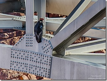 California Condor #54 girders Navajo bridge Marble Canyon Arizona