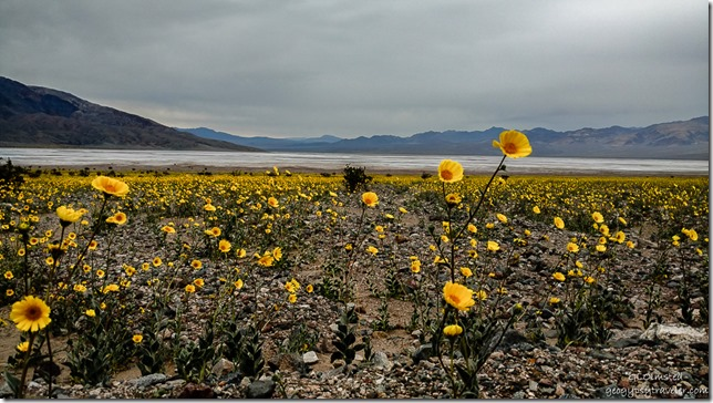 Desert Gold wildflowers Badwater Basin Death Valley National Park California