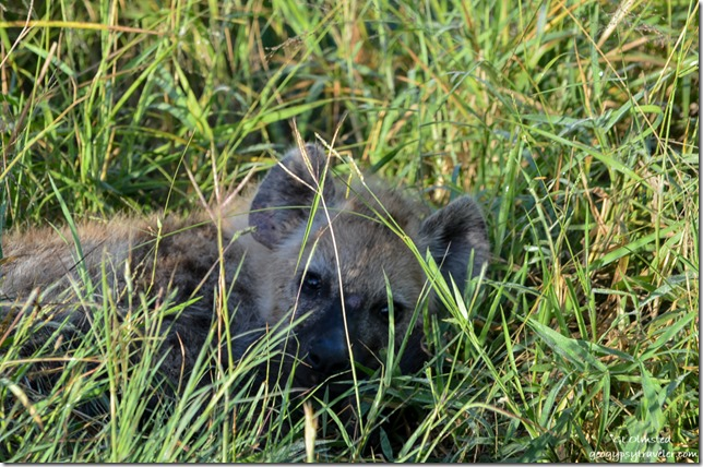 Hyena pup Kruger National Park South Africa