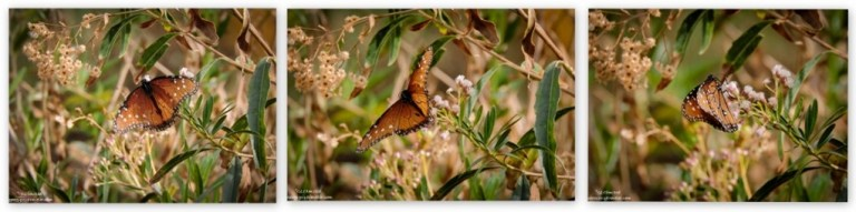 Queen butterfly Hassayampa River Riparian Area Wickenburg Arizona
