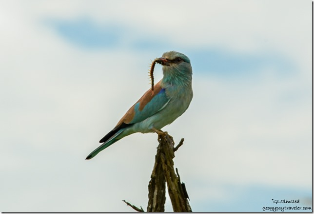 European Roller with millipead Kruger National Park South Africa