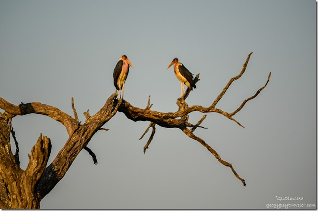 Marabou Storks Kruger National Park South Africa
