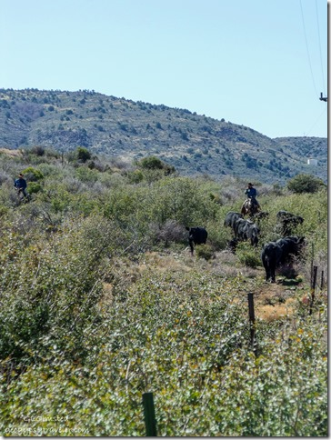 Cowboys herding cattle next to SR89 Peeples Valley Arizona