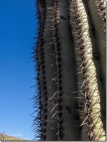 Sagauro Cactus Peoria Arizona