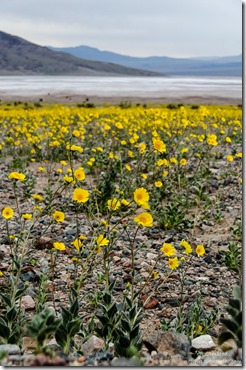 Wildflowers Badwater Basin Death Valley National Park California