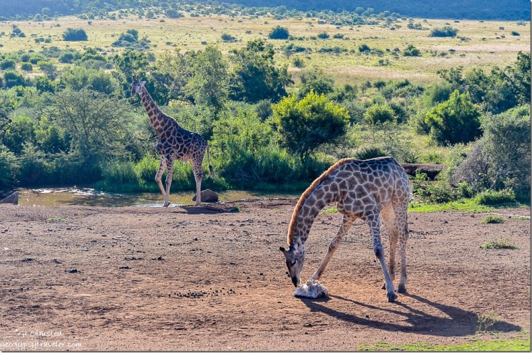Giraffes by salt lick Pilanesberg Game Reserve South Africa