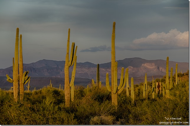 Late light saguaros Darby Well Road BLM Ajo Arizona