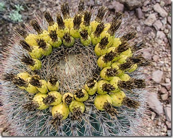 Fruiting barrel cactus Estes Canyon trail Mountain Drive Organ Pipe Cactus National Monument Arizona