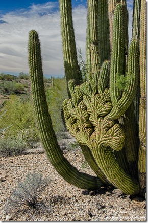 Crested organ pipe cactus Darby Well Road Ajo BLM Arizona