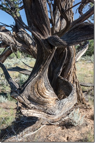 Gnarled juniper Road to White Pocket Vermilion Cliffs National Monument Arizona