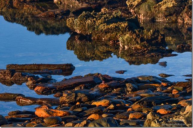 Oyster catcher Tsitsikamma National Park South Africa