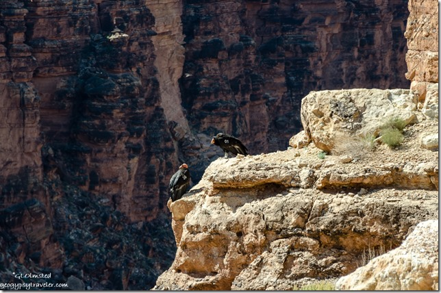 California condors 30 & 01 Navajo bridge Glen Canyon National Recreation Area Marble Canyon Arizona