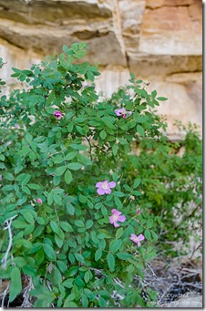 rose bush Cliff Spring trail North Rim Grand Canyon National Park Arizona