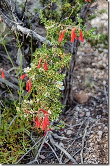 Firecracker penstemon & cliff rose Cape Royal North Rim Grand Canyon National Park Arizona