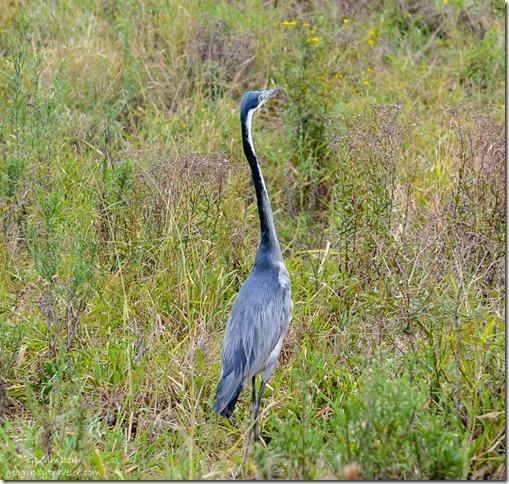 Black-necked Heron Addo Elephant National Park South Africa