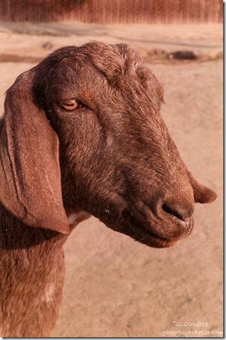 Nubian goat to pet in barnyard CALM Bakersfield California